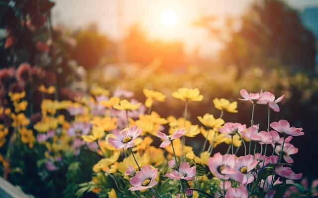 rozkvetlé květiny